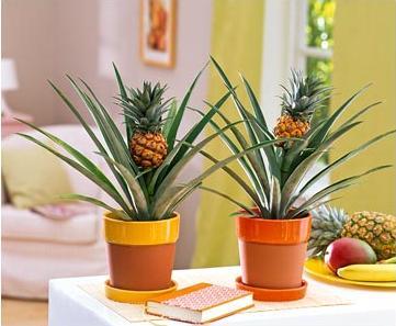 Выращиваем ананас на подоконнике